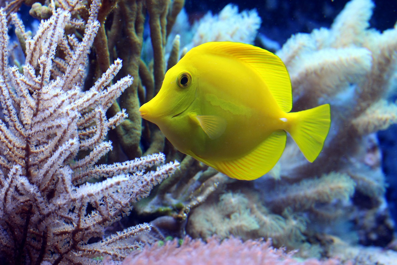 Spirit yellow tang.jpg